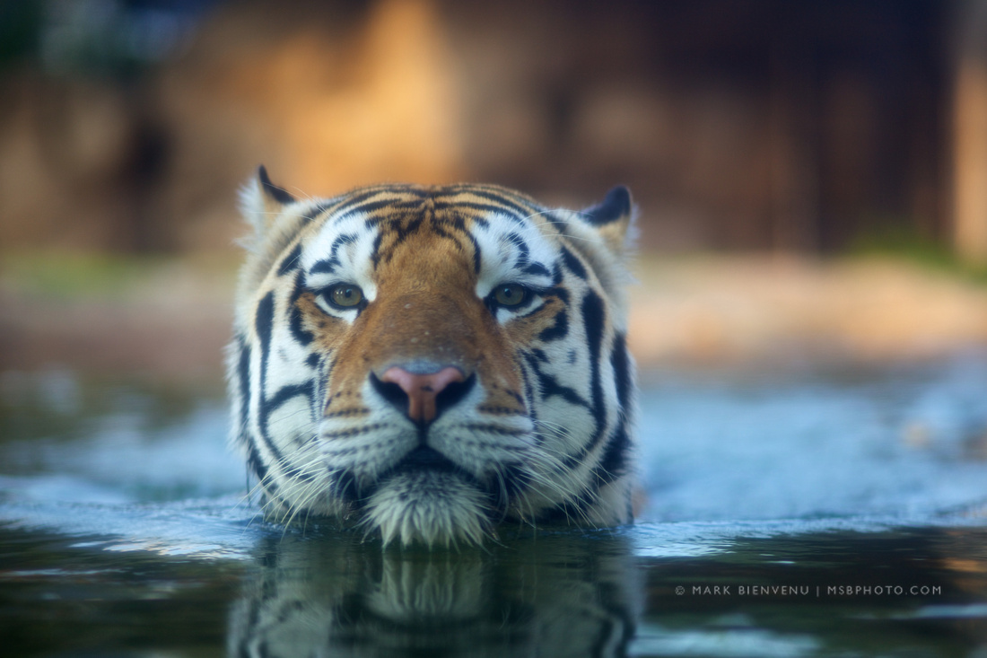 Mike the Tiger at LSU
