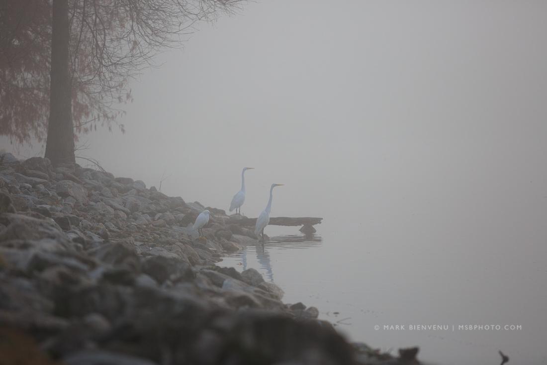 Egrets in Fog